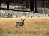 Young Mule Deer in Grass Photographic Print by Kraig Lieb