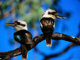 Blue-Winged Kookaburras, One with Gecko, in Gulf Savannah Photographic Print by Lindsay Brown
