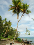 Rare Example of Branched Coconut Tree Photographie par Simon Foale