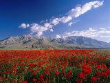 Field of Flowers, Around Lake Van Fotografisk tryk af Izzet Keribar