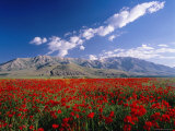 Field of Flowers, Around Lake Van Photographic Print by Izzet Keribar