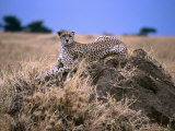 Cheetah Sitting on Termite Mound Photographic Print by Alex Dissanayake