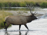 Bull Elk, in Norris Meadows Photographic Print by Emily Riddell