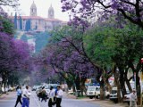 Jacaranda Trees in Bloom, City Street Photographic Print by Frans Lemmens