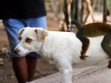 Juvenile Squirrel Monkey Riding on a Young Dog's Back at an Animal Rescue Centre on the Nanay River Photographic Print by Paul Kennedy