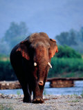 Large Tusked Elephant Walking Photographic Print by Hira Punjabi