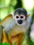 Squirrel Monkey at an Animal Rescue Centre Fotografisk trykk av Paul Kennedy