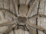 Hunstman Spider on Tree Trunk Photographic Print by Johnny Haglund