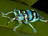 Colourful Weevil, on Leaf Photographic Print by Johnny Haglund