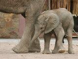 Desert Elephant and Calf, Twyfelfontein Camping Ground Photographic Print by Uros Ravbar