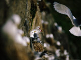Nesting Gulls, Nykvag Photographic Print by Christian Aslund