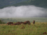 Wildebeestes in Morning Mist Photographic Print by Uros Ravbar