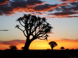 Silhouetted Quiver Tree Forest at Sunset Photographic Print by Uros Ravbar