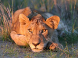 Lion Cub Observing Sunset Photographic Print by Uros Ravbar