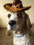 Dog Wearing Sombrero Fotografisk tryk af Dan Gair