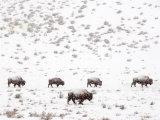 Bison in a Snow Storm Fotografisk tryk af Mark Newman