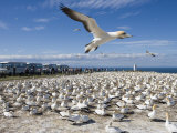 Gannet Safari at Cape Kidnappers Gannet Colony Photographic Print by Holger Leue