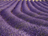 Lavender Field, Provence Photographic Print by Bethune Carmichael