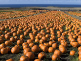 Pumpkins in Field Photographic Print by Neil Setchfield