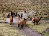 Indian Woman with Herd of Llamas Photographic Print by Uros Ravbar