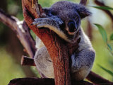 Koala at Brisbane's Alma Park Zoo Photographic Print by Richard I'Anson