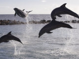 Leaping Dolphins at Curacao Dolphin Academy, Bapor Kibra Photographic Print by Holger Leue