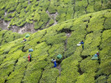 Harvesting Tea Near Top Station Photographie par Orien Harvey