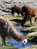 Grazing Alpacas Photographic Print by Paul Kennedy