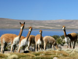 Wary Vicuna at Lago Chungara Photographic Print by Paul Kennedy