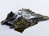 Crocodile Peering Above Surface of Water Photographic Print by Johnny Haglund