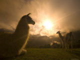 Llama and Clearing Mist Along Inca Trail Photographic Print by Ralph Lee Hopkins