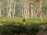 Young Girl Walks Through Tea Plantation Outside of Srimangal Photographic Print by David Greedy