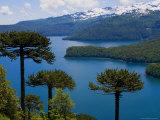 Araucaria Trees Above Lago Conguillio Fotografisk trykk av Bethune Carmichael