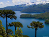 Araucaria Trees Above Lago Conguillio Photographic Print by Bethune Carmichael