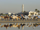Camels at Dubai Camel Racecourse, Late Afternoon Photographic Print by Terry Carter