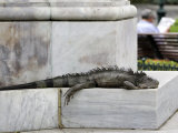 Iguana Lounging at Parque Bolivar Public Garden Photographic Print by Manfred Gottschalk