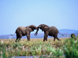 Two Elephants Fighting, Near Kariba Photographic Print by Frans Lemmens