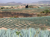 Agave Fields Near Guadalajara Photographic Print by Uros Ravbar