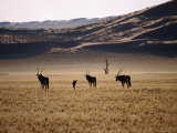 Gemsboks Photographic Print by Frans Lemmens