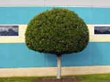 Manicured Tree, Rosehill Racetrack Photographic Print by Oliver Strewe