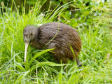 Kiwi at the Wellington Zoo Photographic Print by Oliver Strewe