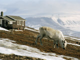 White Reindeer Near Mountain Tops Photographic Print by Christian Aslund