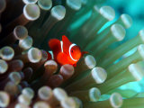 Tiny Fish Among the Tentacles of a Sea Anemone in the Reefs of Malaysia Photographic Print by Tim Rock
