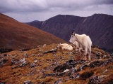 Front Range Mountain Goats on Gray's Peak in the Rockies Photographic Print by Karl Lehmann