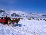 Sleigh Rides Take Tourists Past Herds of Elk at the National Elk Refuge Photographic Print by Cheyenne Rouse