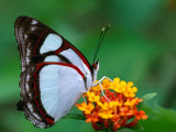 Nymphalid Butterfly, Native to the Rainforests of Costa Rica, Photographic Print