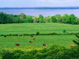 Cows Grazing with an Ocean View in Maine Photographic Print by Kim Grant