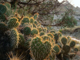 Ball Cactus or Pincushion Cactus in the Northern Region of Theodore Roosevelt National Park Photographic Print by Rob Blakers