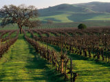 Late Winter Vineyard, Livermore Valley Photographic Print by Nicholas Pavloff