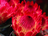 Close-Up of a Protea, Growing on the Slopes of Haleakala National Park Photographic Print by Ann Cecil